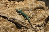 picture of lizards  - lizard on a rock in a summer day - JPG