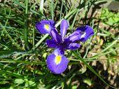 image of purple iris  - Bright purple iris blooming in backyard garden  - JPG