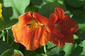 stock photo of nasturtium  - Nasturtium flowers orange  - JPG