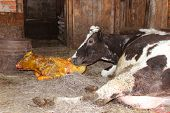 pic of calves  - mother cow carefully looking after its just newborn calf - JPG