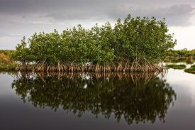 stock photo of tens  - Red Mangrove trees and reflections in mirror calm waters along the Marsh Trail - JPG