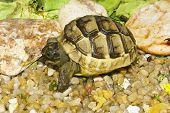 stock photo of centenarian  - juvenile of greek turtle on sand  - JPG