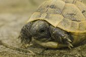 picture of centenarian  - juvenile of greek turtle on sand  - JPG