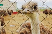 picture of ostrich plumage  - An ostrich looking through the lattice fence at the ostrich farm - JPG