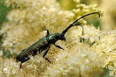 stock photo of meadowsweet  - Musk beetle  - JPG