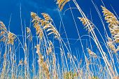 image of sea oats  - colorful photo of sea oats on hilton head island - JPG