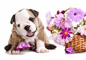 english Bulldog puppy and flowers