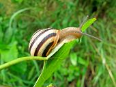 Snail (gastropoda Mollusc) On Green Leaf, Nature Details