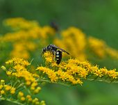 stock photo of goldenrod  - A black wasp with white stripes working diligently on goldenrod flowers - JPG