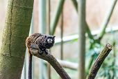 Tamarin Monkey Sitting On The Branch, Tree Background poster