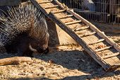 Close Up Crested Porcupine Or Hystrix Indica In Captivity poster