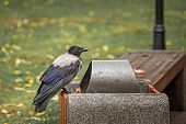 A Crow Sits On A Bin, An Urban Hungry Bird, Seeking Food poster