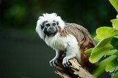 Portrait Of A Cotton-top Tamarin (saguinus Oedipus) A Critically Endangered Species From The Tropica poster