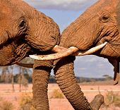 image of tusks  - Two bull elephants involved in a tusk to tusk tussle - JPG
