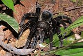 Chicken Tarantula Approaching. Tambopata, Amazon Rainforest, Peru poster