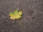 Yellow Green Autumn Leaf On The Gravel Ground Starting To Fade Close Up With Copy Space. poster
