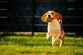 Beagle Dog Fun In Garden Outdoors Run And Jump With Ball Towards Camera poster