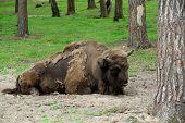 stock photo of aurochs  - Aurochs - JPG