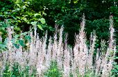 Uncultivated Meadow With Wilted Willowherb Plants, Hairy Seeds In Summer Sun poster