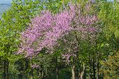 foto of judas  - Judas tree on a beautiful backdrop of green leaves - JPG