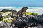 Galapagos Iguana heating itself in the sun resting on rock on Tortuga bay beach, Santa Cruz Island.  poster