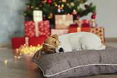 Jack Russell Terrier As Christmas Present For Children Concept. Two Months Old Adorable Doggy On The poster