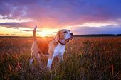 Portrait Of A Beagle Dog On A Background Of A Beautiful Sunset Sky. Beagle While Walking In Nature poster