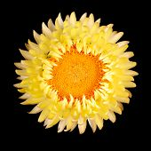 Single Yellow Strawflower Isolated Against Black