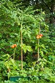 picture of tomato plant  - tomato plant with tomatoes in a garden