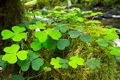 stock photo of irish moss  - Green Irish clover leafs in the forest - JPG