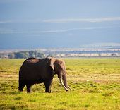 Elephant on African savanna. Safari in Amboseli, Kenya, Africa