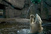 stock photo of polar bears  - polarbear playing with a ball - JPG