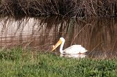 pic of klamath  - American White Pelican Pelecanus erythrorhynchos on Upper Klamath Lake near Klamath Falls Oregon - JPG