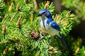 picture of blue jay  - Bright Blue Scrub Jay on a tree branch - JPG
