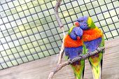 foto of lorikeets  - Two colorful romantic lorikeet birds in a cage - JPG