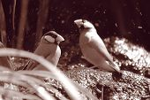 image of java sparrow  - Java Sparrows bathing under waterfall taken in New Zealand - JPG