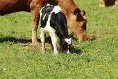 Black & White Calf Grazing