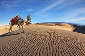 stock photo of dromedaries  - Gorgeous dromedary yells at the sand dunes - JPG