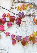 Colourful leaves on stone wall.