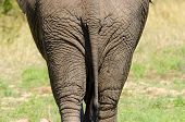 image of rear-end  - African Elephant Rear View - JPG