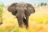 stock photo of tusks  - African Elephant Bull - JPG