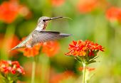 picture of maltese-cross  - Rufous Hummingbird feeding on Maltese Cross flowers - JPG