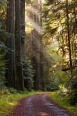 picture of redwood forest  - Beautiful scene of lightly traveled gravel road curving through a green moist pristine redwood forest - JPG