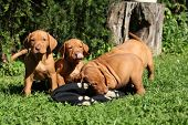 pic of vizsla  - Puppies of Hungarian Short - JPG