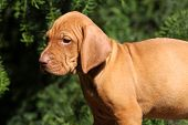 image of vizsla  - Puppy of nice Hungarian Short - JPG