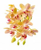stock photo of yellow orchid  - Blooming branch striped yellow and red orchid with drops phalaenopsis is isolated on white background - JPG