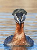 image of grebe  - Red Necked Grebe in its natural habitat - JPG