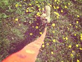 picture of instagram  - a cute tiny chihuahua in the grass done with a vintage retro instagram filter - JPG
