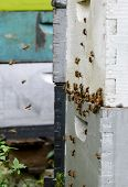 picture of bee keeping  - bees swarming around a beehive in florida