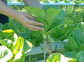 picture of hydroponics  - ?Hand Harvesting Green Cos at Hydroponic plantation. - JPG